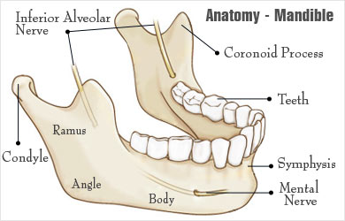 Mandible Anatomy
